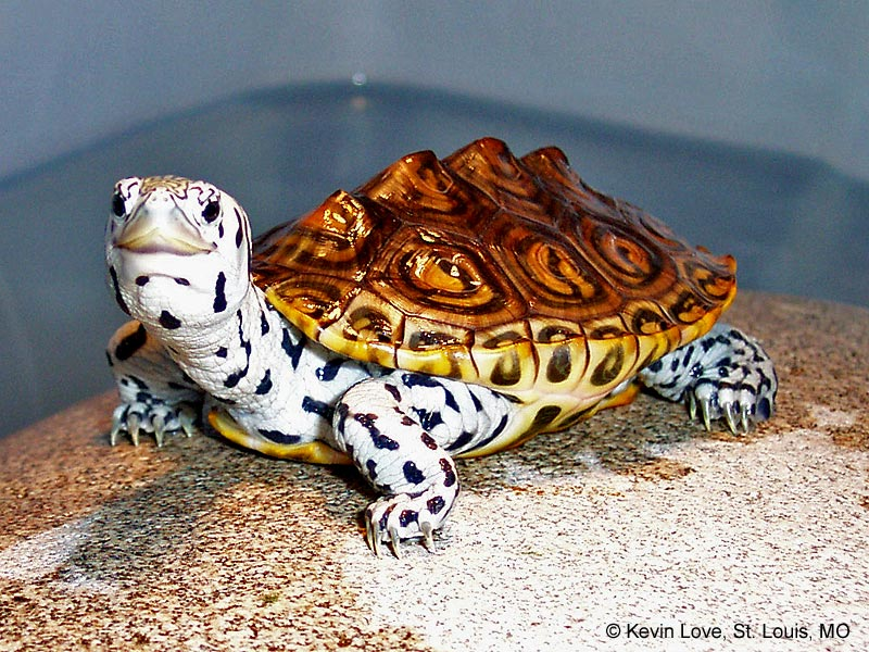 Are Diamondback Terrapins Endangered